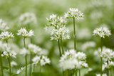 Wild Garlic - Ramsons (Allium Ursinum) Flowering in Woodland, Cornwall, England, UK, May Papier Photo par Ross Hoddinott