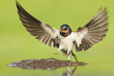 Barn Swallow (Hirundo Rustica) Collecting Mud for Nest Building Inverness-Shire  Scotland  June