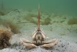 Masked Crab (Corystes Cassivelaunus) on Sandy Seabed, Studland Bay, Dorset, UK, May Papier Photo par Alex Mustard