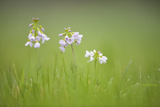 Cuckoo Flower (Cardamine Pratensis) Catcott Lows Swt Reserve  Somerset Levels  England  UK  April