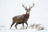 Red Deer Stag (Cervus Elaphus) on Open Moorland in Snow  Cairngorms Np  Scotland  UK  December