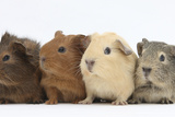 Four Baby Guinea Pigs  Each a Different Colour