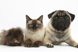 Fawn Pug  Burmese-Cross Cat and Shaggy Guinea Pig