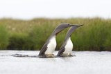 Red-Throated Diver (Gavia Stellata) Adult Pair Displaying on Loch  Flow Country  Scotland  UK