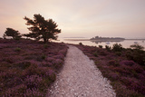 Path Running Through Common Heather  with Brownsea Island  Arne Rspb  Dorset  England  UK