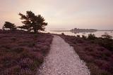Path Running Through Common Heather, with Brownsea Island, Arne Rspb, Dorset, England, UK Papier Photo par Ross Hoddinott
