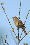 Common Nightingale (Luscinia Megarhynchos) Adult Perched  Singing  Cambridgeshire  UK  April