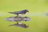 Barn Swallow (Hirundo Rustica) Collecting Material for Nest Building  Scotland  UK  June