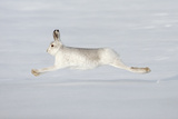 Mountain Hare (Lepus Timidus) in Winter Coat Running across Snow  Stretched at Full Length  UK