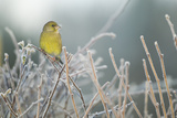 Greenfinch (Carduelis Chloris) Male Perched in Hedgerow in Frost  Scotland  UK  December