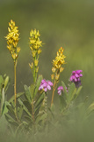 Bog Asphodel (Narthecium Ossifragum) and Cross-Leaved Heath (Erica Sp) in Flower  New Forest  UK
