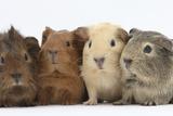 Four Baby Guinea Pigs  Each a Different Colour