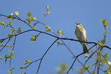 Willow Warbler (Phylloscopus Trochilus) Singing in Birch Tree at Frensham Common Nr  Surrey  UK