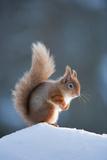 Red Squirrel (Sciurus Vulgaris) Adult in Snow  Cairngorms National Park  Scotland  February