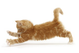 Ginger Kitten Jumping Forwards with Front Paws