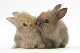 Two Baby Lionhead-Cross Rabbits  Touching Noses