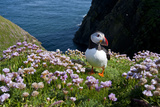 Puffin (Fratercula Arctica) by Entrance to Burrow Amongst Sea Thrift (Armeria Sp) Shetlands  UK