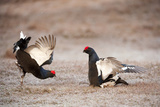 Black Grouse (Tetrao Tetrix) Males Displaying at Lek  Cairngorms Np  Grampian  Scotland