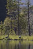 Greylag Goose (Anser Anser) Pair on Edge of Loch  Near Nesting Site  Scotland  UK  May 2010