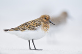Sanderling (Calidris Alba) in Breeding Plumage  Standing on Shoreline  Outer Hebrides  Scotland  UK