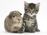 Cute Tabby Kitten  Fosset  5 Weeks  with a Guinea Pig