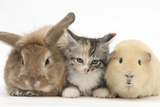 Sandy Rabbit  Tabby Tortoiseshell Maine Coon-Cross Kitten  7 Weeks  and Yellow Guinea Pig