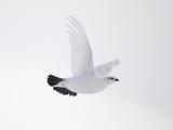Rock Ptarmigan (Lagopus Mutus) Female in Flight  Winter Plumage  Cairngorms Np  Highland  UK