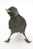 Baby Jackdaw (Corvus Monedula) with Feet Wide Apart