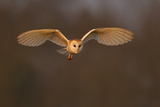 Barn Owl (Tyto Alba) in Flight in Morning Light Wales  UK  March