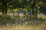 Wildlife Rich Hay Meadow  Early Morning Light in Summer  Lampeter  Wales  UK June