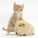 Ginger Kitten  7 Weeks  and Yellow Guinea Pig