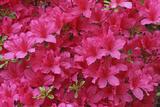Bloom of Azalea Flowers Winkworth Arboretum  Surrey  UK  May