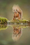Red Squirrel (Sciurus Vulgaris) at Woodland Pool  Feeding on Nut  Scotland  UK  November