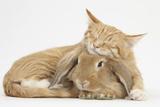 Sleepy Ginger Kitten with Sandy Lionhead-Lop Rabbit