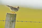 Skylark (Alauda Arvensis) Perched on a Fence Post  Vocalising  Balranald Reserve  Hebrides  UK