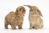 Peekapoo (Pekingese X Poodle) Puppy and Sandy Lop Rabbit