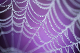 Dew Covered Spider's Web with Pink Flowering Heather in the Background, Dorset, UK Papier Photo par Ross Hoddinott