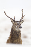 Red Deer Stag (Cervus Elaphus) Portrait in Snowy Moorland  Cairngorms Np  Scotland  UK  December