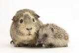 Baby Hedgehog (Erinaceous Europaeus) and Guinea Pig (Cavia Porcellus)