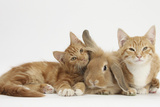 Ginger Kittens with Sandy Lionhead-Lop Rabbit