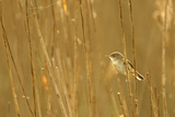 Reed Warbler (Acrocephalus Scirpaceus) Perched in Reeds  Titchwell Rspb Reserve  Norfolk  UK