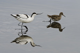 Avocet (Recurvirostra Avosetta) Feeding Along Side a Redshank (Tringa Totanus)  Brownsea Island  UK