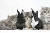 Maine Coon Kittens  8 Weeks  with Baby Dutch X Lionhead Rabbits