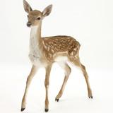 Fallow Deer (Dama Dama) Portrait of Fawn Standing