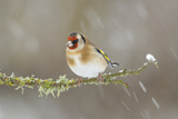 Goldfinch (Carduelis Carduelis) Perched on Branch in Snow  Scotland  UK  December