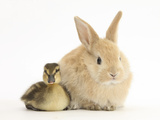 Young Sandy Lop Rabbit and Mallard Duckling Sitting Next to Each Other