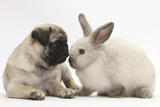 Fawn Pug Puppy  8 Weeks  and Sooty Colourpoint Rabbit