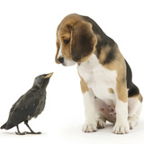 Beagle Puppy with Fledgling Jackdaw (Corvus Monedula)