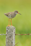 Redshank Perched on Fence Post Vocalising  Balranald Rspb  North Uist  Outer Hebrides  Scotland  UK