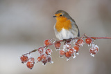 Adult Robin (Erithacus Rubecula) in Winter  Perched on Twig with Frozen Crab Apples  Scotland  UK